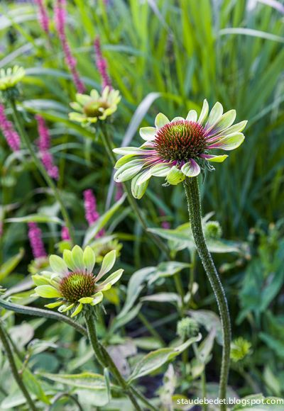 echinacea purpurea 39 green envy 39 perennials pinterest. Black Bedroom Furniture Sets. Home Design Ideas