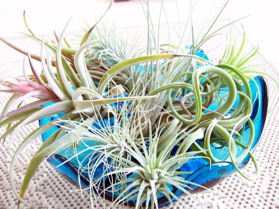 8 Varieties Of Air Plants For Sale Gardening Pinterest