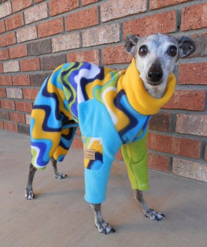 italian greyhound, LOL so high fashion!