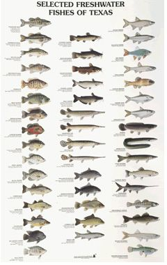 Freshwater fishes of texas poster hunting fishing for Texas freshwater fish