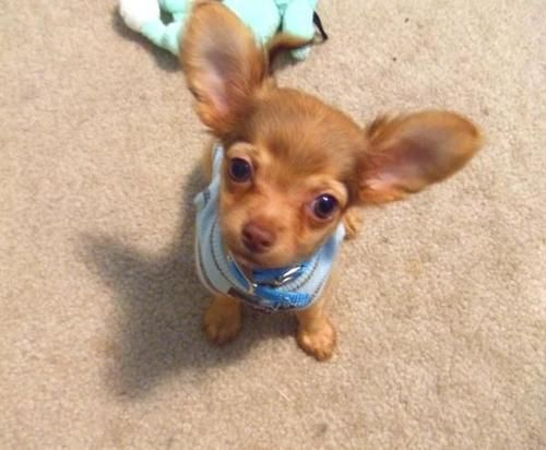 All ears quot chihuahuas pinterest