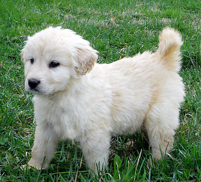 pyrenees puppies