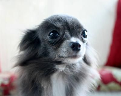 long haired blue chihuahua dogs puppies pinterest