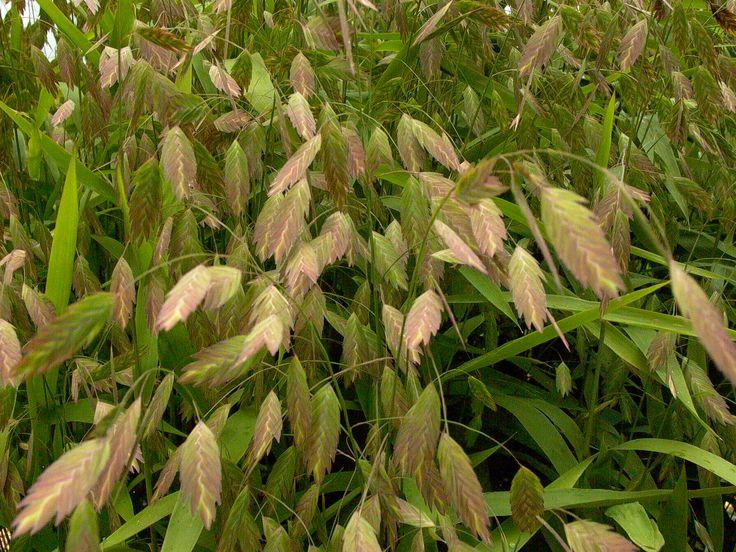 Northern sea oats ornamental grasses pinterest for Ornamental sea grass