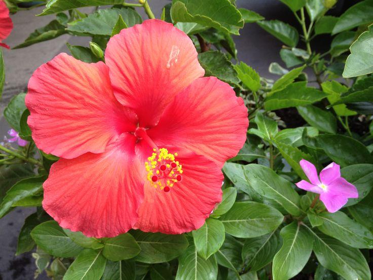 Amapola Flower In English Related Keywords Suggestions Amapola