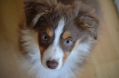 mini red tri australian shepherd | happies | Pinterest
