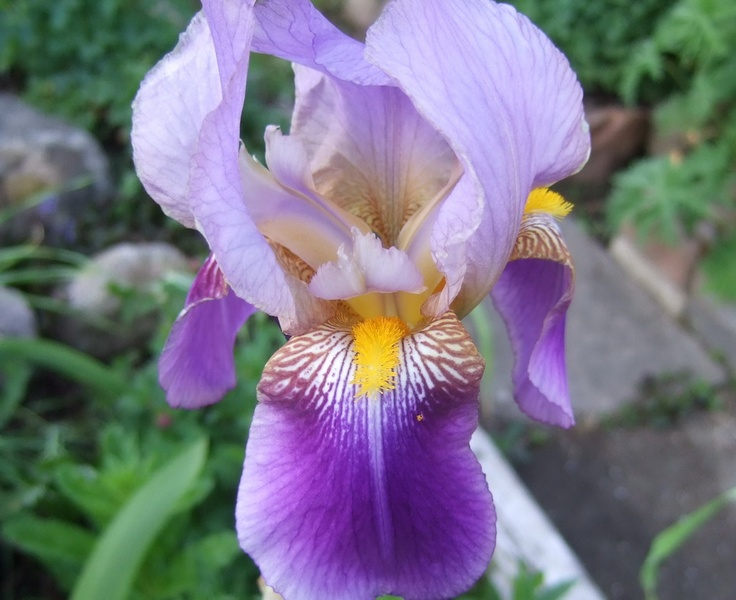 iris germanica favorits from my garden pinterest. Black Bedroom Furniture Sets. Home Design Ideas