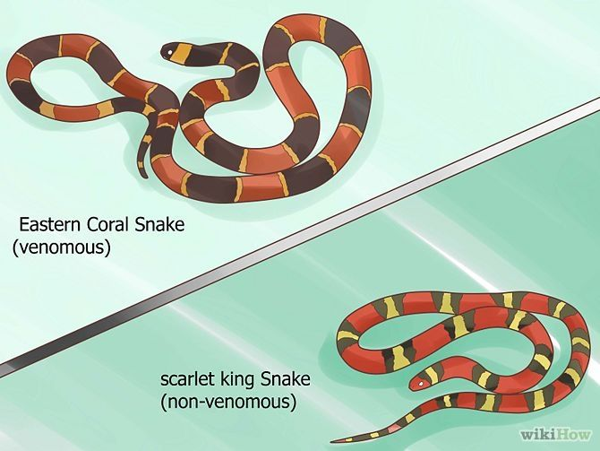 How to tell the difference between a king snake and a coral snake