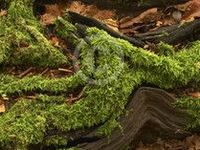 Majestic Moss
