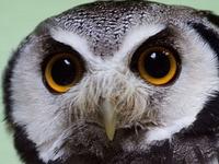 Owl beauties