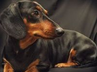 This is for our little Louie. He is a rescued daschund and has stolen our heart!!!!!