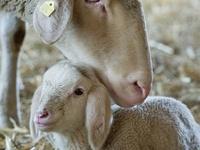 Sheep, Lambs