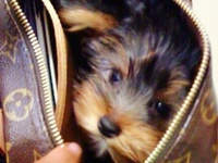 Yorkies absolutely melt my heart! We were blessed to have little Miss Ella a part of our family 06/05/07 ~ 08/01/13. She had our hearts from day one. We love her & miss her every minute of every day! Ella's lil legacy will live on forever. Mya DOB: 11/20/13 misses her big sista!!