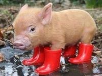 cute piggy's
