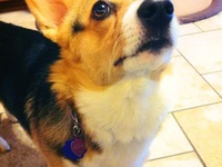 Corgis are the best dogs!