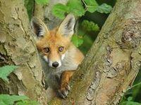 Animals - Foxes