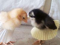 Chick- Chick- Chickens
