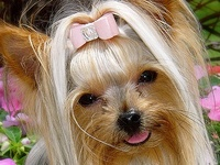 Yorkies and other cute dogs