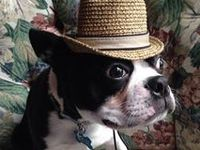 I love Boston Terriers.  Nothing melts my heart more than a sweet little baby Boston.  This is a place to tuck away photos wee Bostons so that I can take a peek and smile whenever I need to!  (RIP Chunky Monkey 2001-2013) (Welcome to our family Cracker Jack 9/2013)