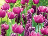 Tulips are another of my favorite flowers. They're beautiful in a bed surrounded by pansies!!! Love them...