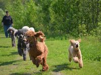 Poodles! Especially Standard Poodles! Best breed for Personality, Fun and Intelligence! Hypoallergenic too!