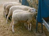 FARM~sheep & goats