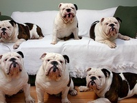 English bulldog lover
