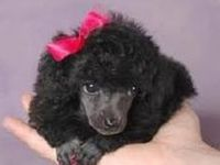 I just love Poodles, always have and always will!