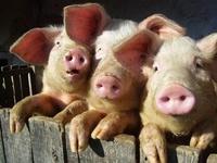 Animals: Pigs