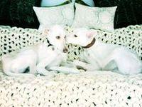 #Greyhounds #Galgos #Adoptapet #Adoptaungalgo #Galgo #Greyhound