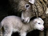 Lambs, Sheep & Goats