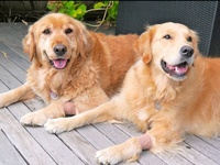 I love all dogs, I love all animals, but Golden Retrievers are my favourite. Kobe lost her battle with cancer on the 8th of April 2013. She was nearly 11 years old. I will miss her for the rest of my life! She was an exceptional dog. I now have 3 y.o. Riley and puppy Cooper.