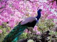 I adore peacocks, both live and objects depicting them, artwork, crafts, etc.