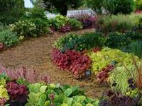 The intrinsic beauty never ends with the wonderful color hues & foliage designs of the Evergreen Heuchera (Coral Bells). Blending wonderfully among Hosta in a shade garden, displaying their fantastic colors. Heuchera, Heucherella & Tiarella will also do well in containers, or even baskets to be enjoyed. Most can be grown in shade, with some cultivars having the ability to grow in sun or shade-sun.