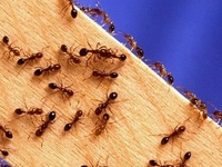 house garden pest bug insect aphid gnat beetle worm caterpillar sawfly spider ant bee wasp fly snake deer rabbit plant disease sick nutrient mold mildew  weak wilt weed spread kill exterminate natural repellent insecticide bug spray safe nontoxic toxic DEET leaves poison ivy oak itch reaction