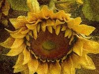 sunflowers, floarea soarelui