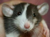 Rats are the most amazing pets. They get me through thick and thin. Spread the word and give these babies a home.