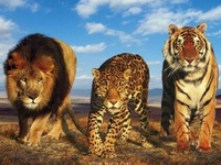 My love of big cats. Such beautiful creatures.