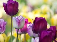 Tulipanes mis ....