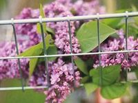 LILACS ~ LILY OF THE VALLEY