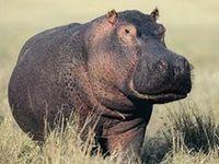 Animals - Hippopotamus