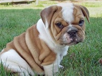 BullDogs Are The Best