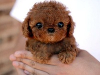 Dogs: Poodle, mainly though...,