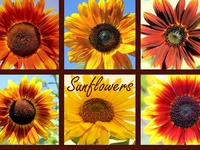 Sunflowers, Bittersweet and Butterflies