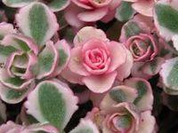 Succulents-Cactus