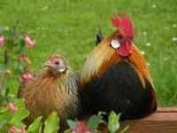 Coqs & poules