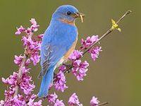 Eastern Bluebird (Sialia sialis) , Western Bluebird (Sialia mexicana) & Mountain Bluebird (Sialia currucoides)