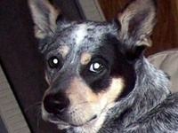 My dog Hank (passed away 3-28-14) & other Blue Heelers