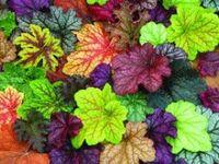 Perennials - Heuchera & Heucherella, Coral Bells