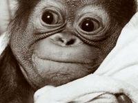 Apes etc.
